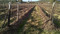 Continuous Mulching to enrich the soil and many other benefits for vines